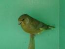 Brown greenfinch_1