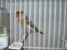 Hybrid Goldfinch x Bullfinch_1