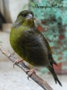 Greenfinch cock _4