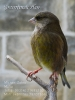 Greenfinch hen_2